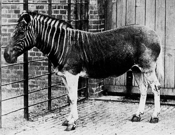1883년 멸종한 콰가는 얼룩말과 말을 섞은 듯한 모습을 하고 있다. 1984년 콰가의 미토콘드리아 게놈 일부가 해독돼 이 동물이 얼룩말에 더 가깝다는 사실이 밝혀졌다. 이 논문은 고게놈학 시대를 연 것으로 평가되고 있다. 1870년 런던동물원에 있던 암콰가. - 위키피디아 제공